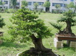 树桩盆景制作